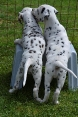 sweet dalmatian puppies